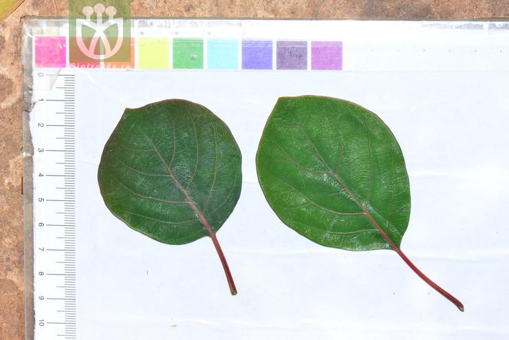 Litsea populifolia