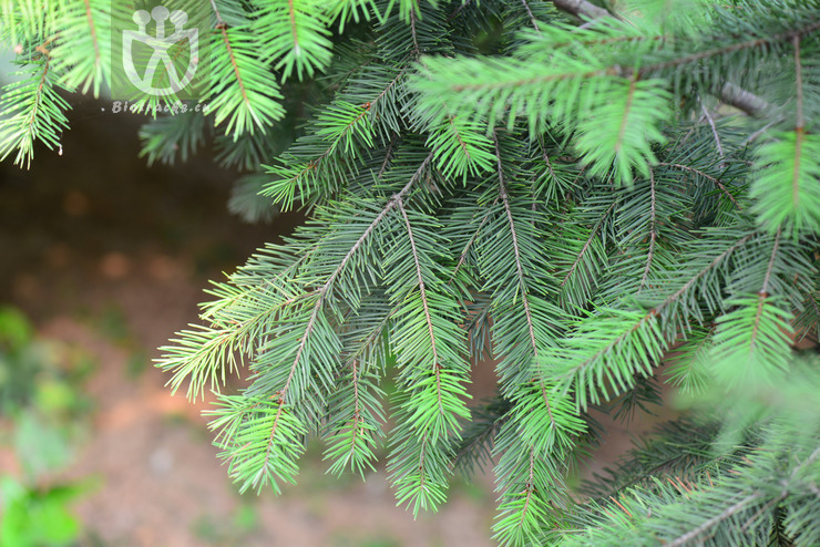 Pseudotsuga taxifolia