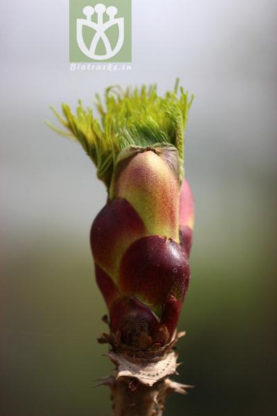 Aralia chinensis