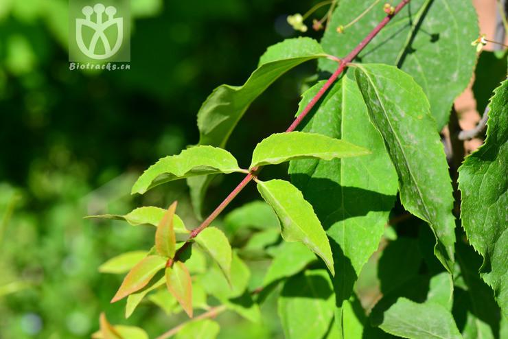 Euonymus sanguineus