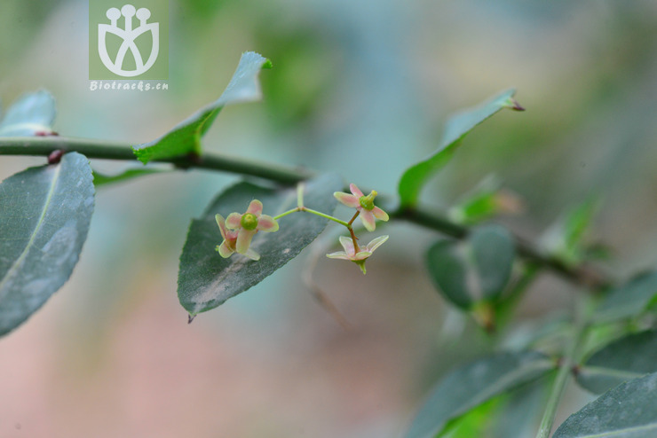 Euonymus verrucosoides