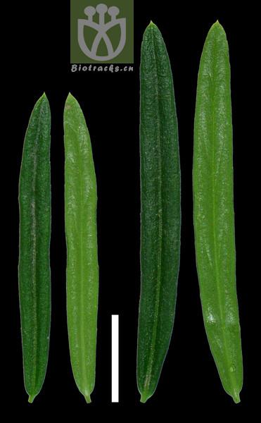 Euonymus nanus