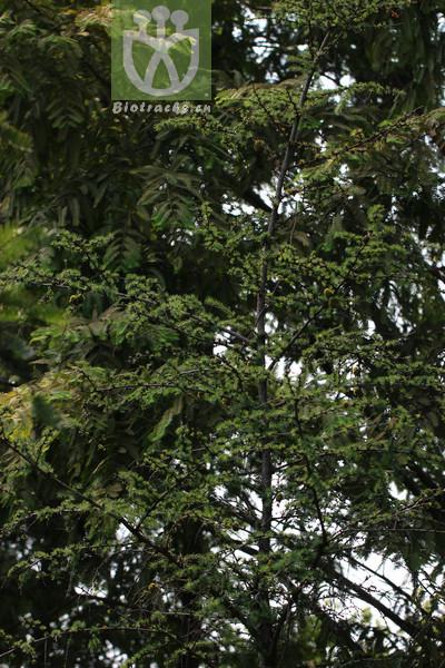 Pseudolarix kaempferi