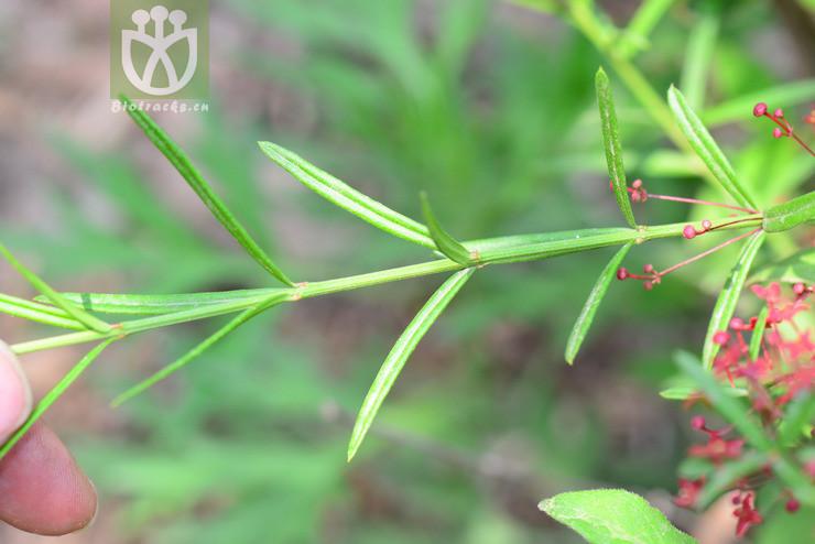 Euonymus koopmannii