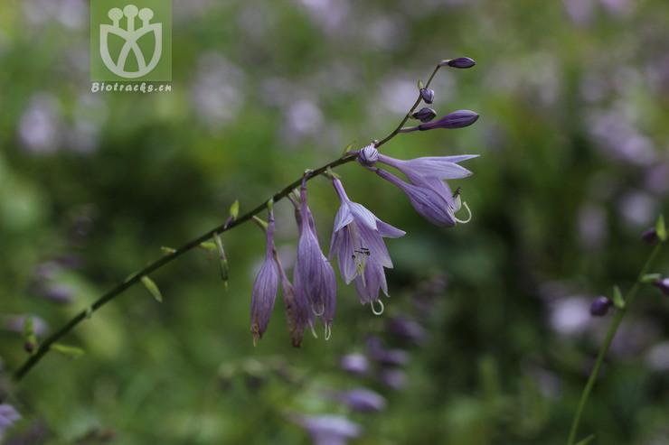Hosta lancifolia
