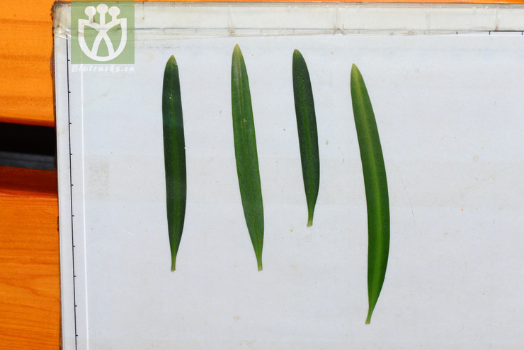 Podocarpus macrophyllus var. maki