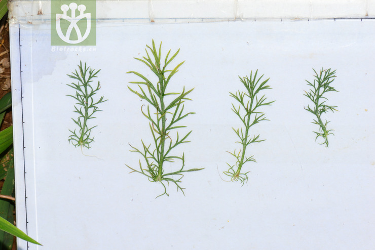 Tripleurospermum limosum