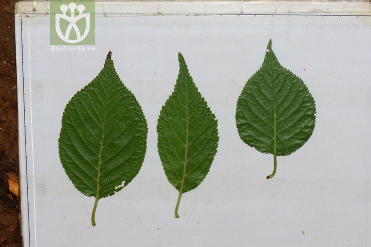 Cerasus polytricha