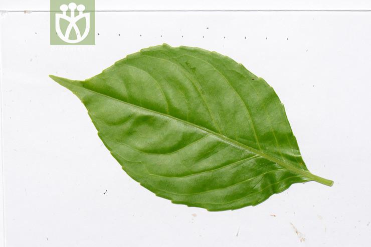 Hippocratea arborea