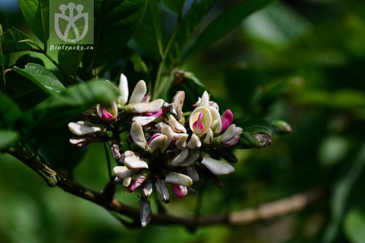 Callerya congestiflora