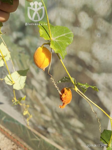 Zehneria umbellata