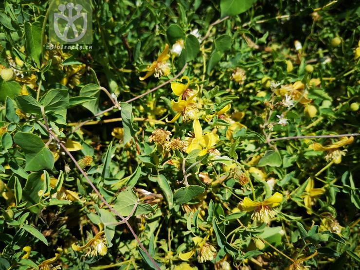 Meclatis sibirica