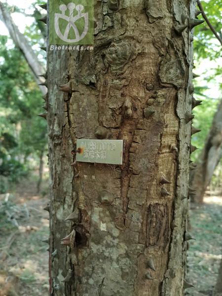 Casearia subrhombea