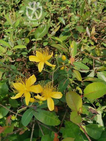 Hypericum chinense subsp. latifolium