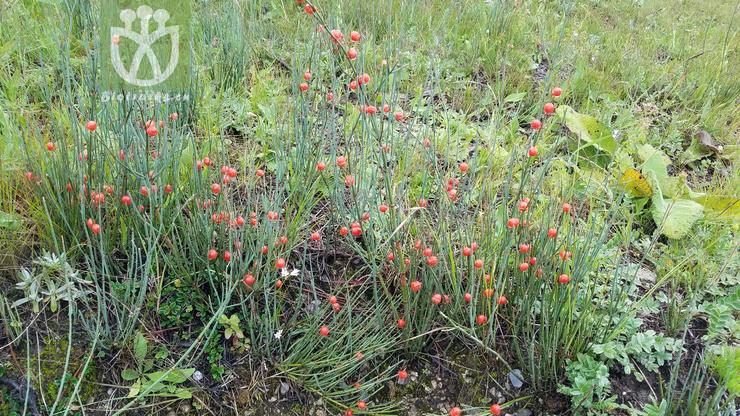 Ephedra likiangensis f. likiangensis