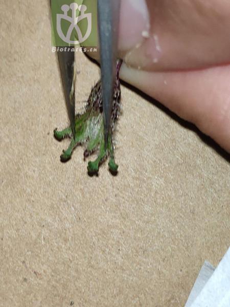 Nigella glandulifera