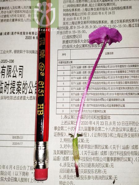 Salvia przewalskii var. alba