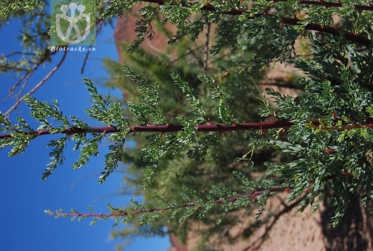 Myricaria elegans var. elegans