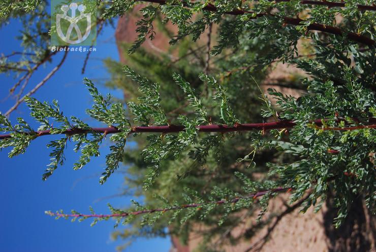 Tamaricaria elegans