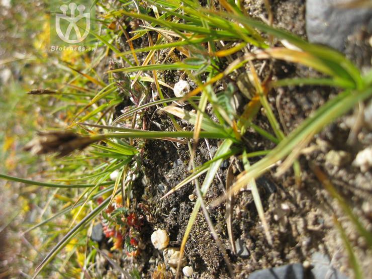 Kobresia macrantha