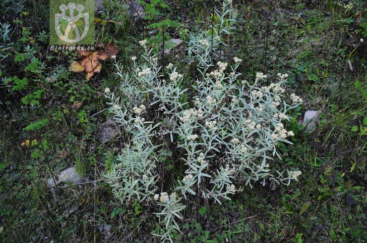 Anaphalis tibetica