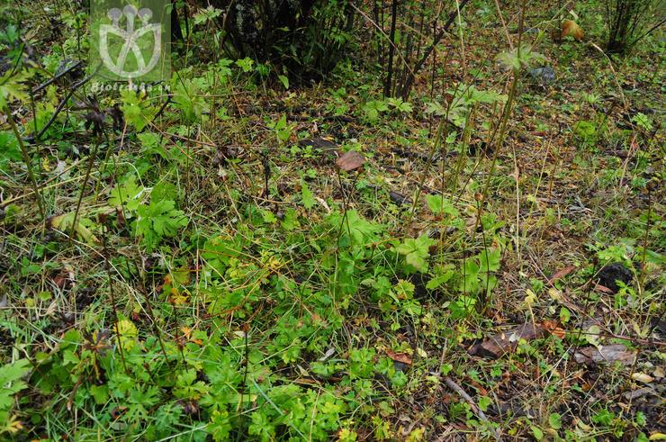Aconitum pulchellum