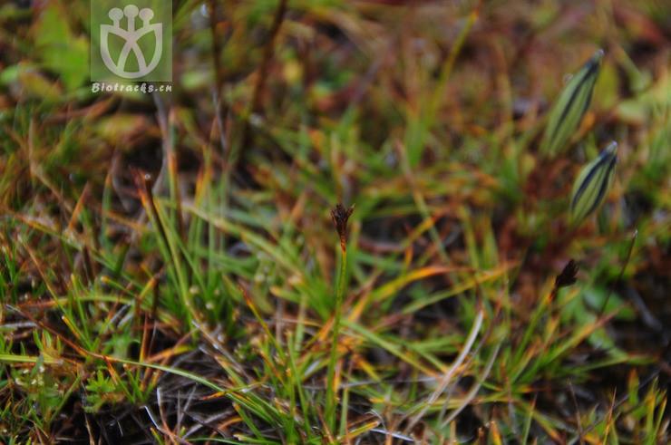 Kobresia yushuensis