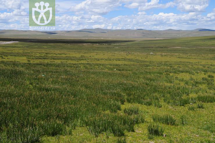 Kobresia tibetica