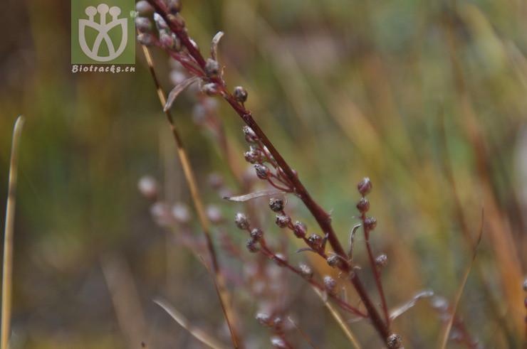 Artemisia desertorum