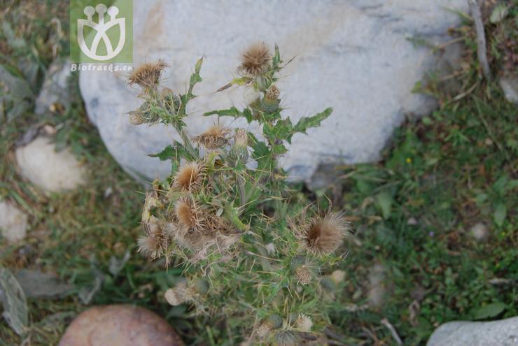 Cirsium arvense