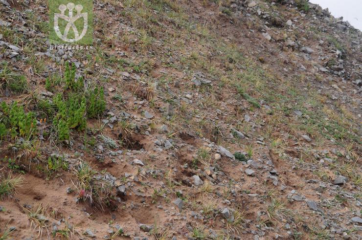 Kobresia robusta