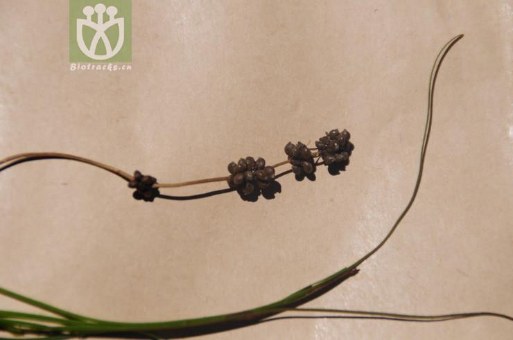 Potamogeton pectinatus var. gracilis