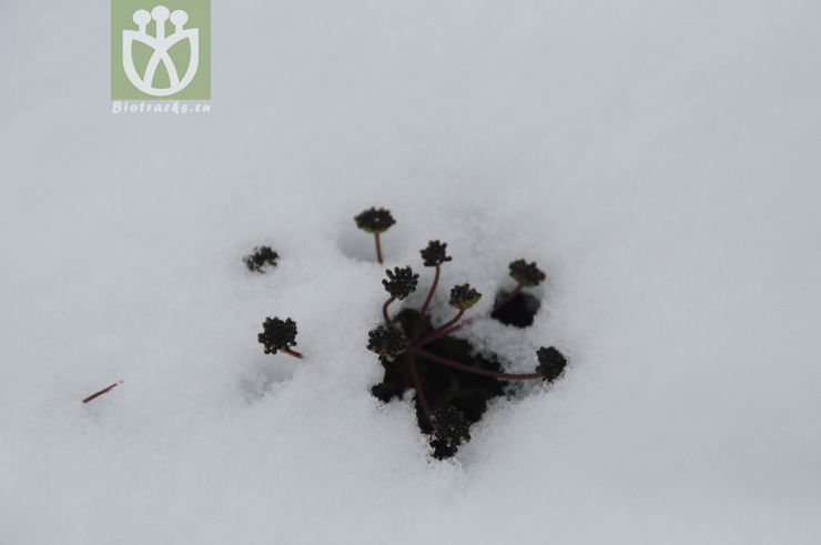 Pleurospermum nanum