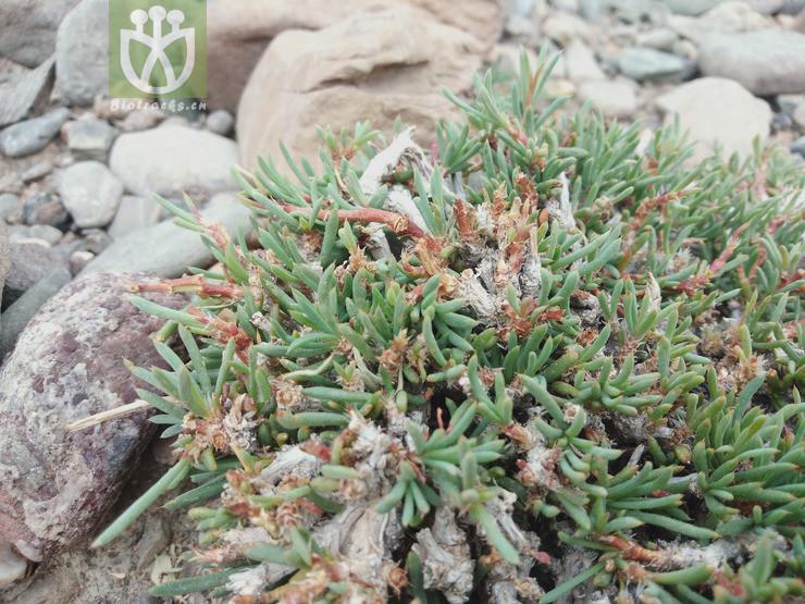 Gymnocarpos przewalskii