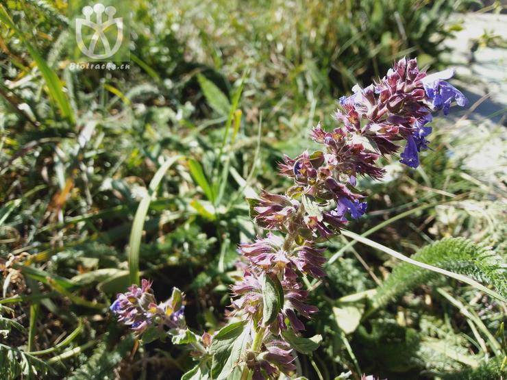 Salvia deserta