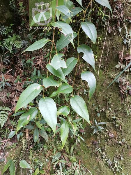 Sabia japonica