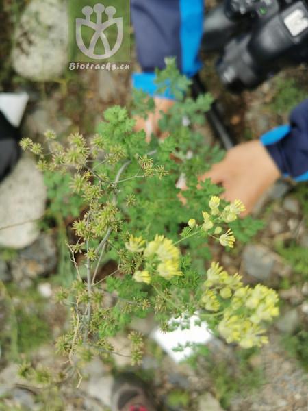 Thalictrum aquilegiifolium var. sibiricum
