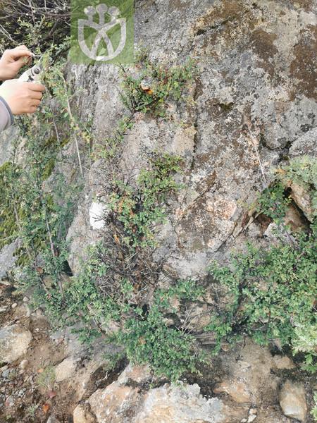 Potentilla viridis