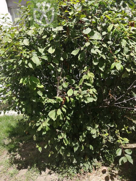 Persica triloba