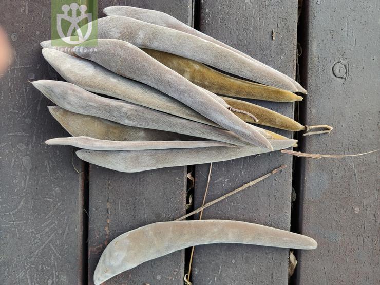Acacia ephedroides