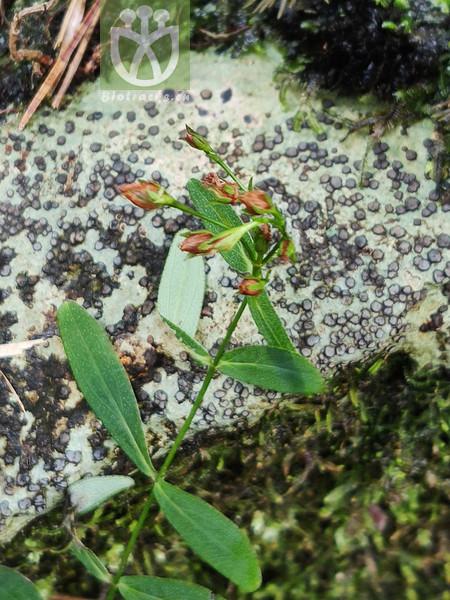 Hypericum seniawinii