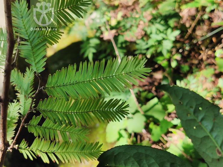 Metasequoia honshuenensis