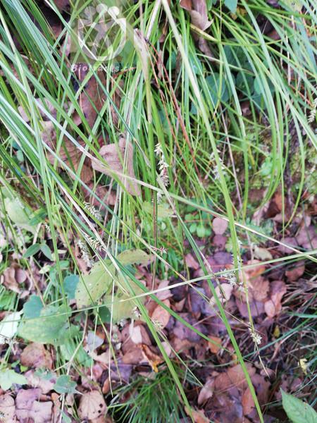 Lonicera macrantha var. heterotricha