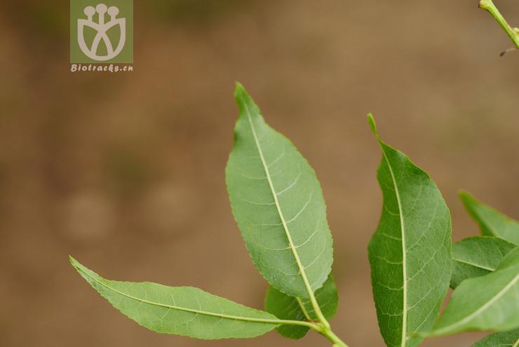 Prunus acuminata