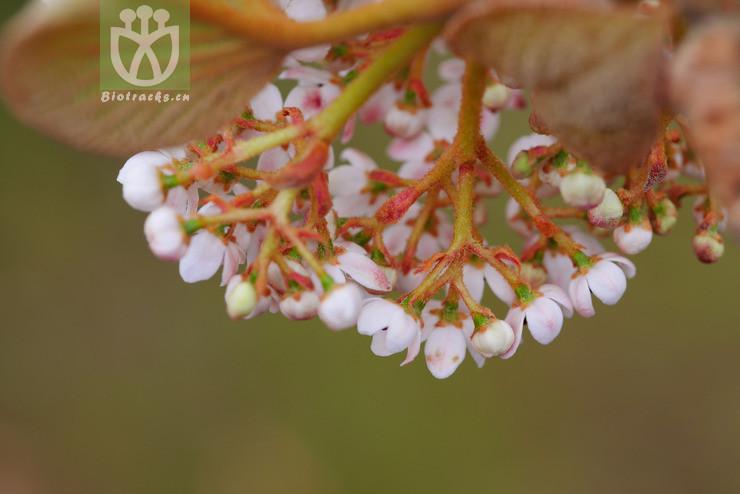 Viburnum furcatum