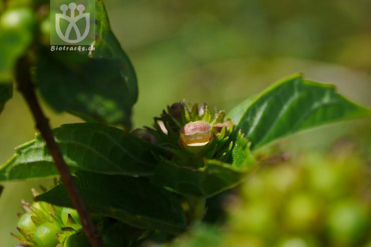 Premna yunnanensis