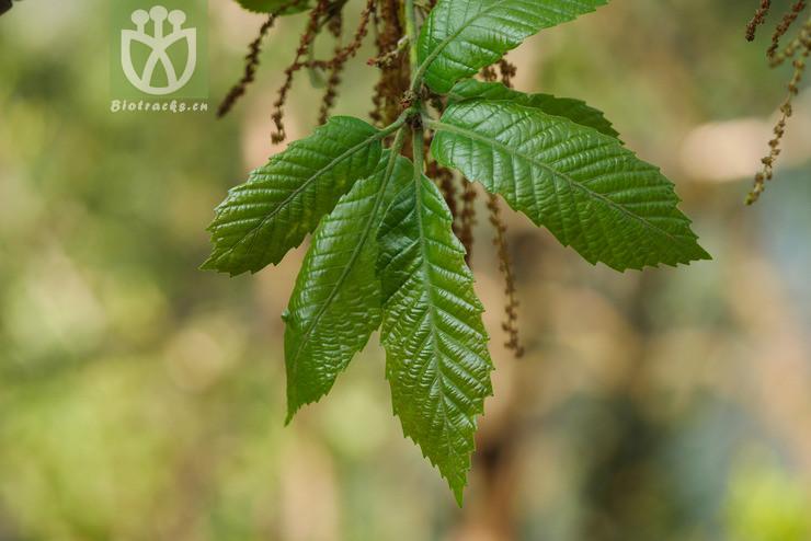 Quercus griffithii