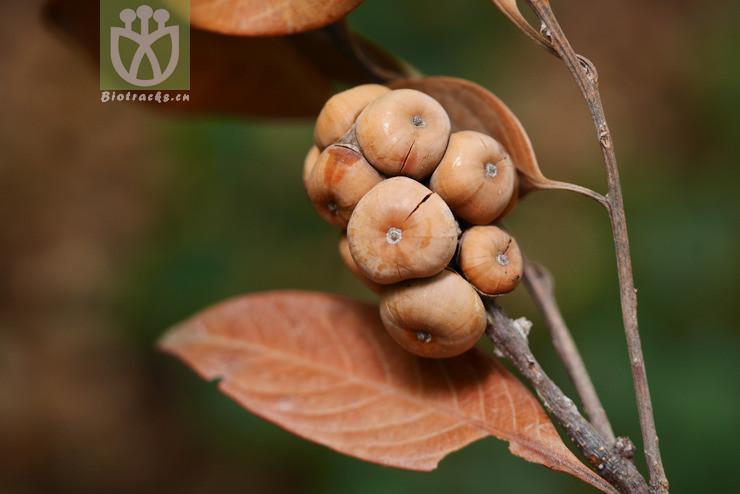 Lithocarpus hypoglaucus