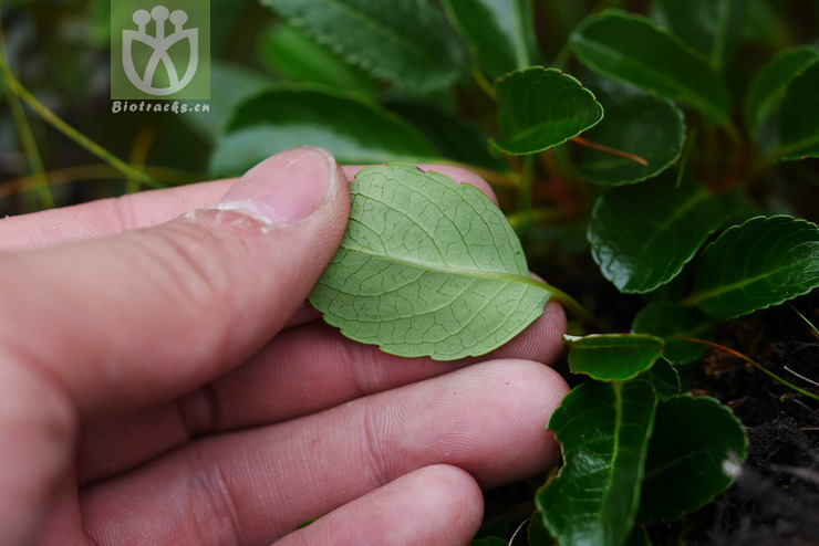 Salix flabellaris