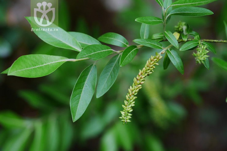 Salix cathayana